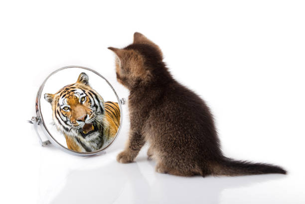 kitten with mirror on white background. kitten looks in a mirror reflection of a tiger - отражение стоковые фото и изображения