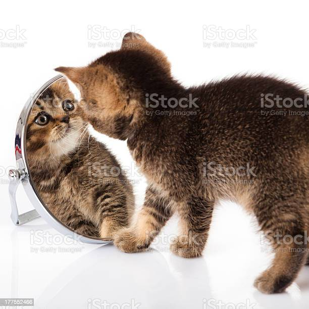 Kitten with mirror on white background picture id177552466?b=1&k=6&m=177552466&s=612x612&h=tgah7pyrboqdsstw nq4hb0 l1sgczbd e3sbokieiq=