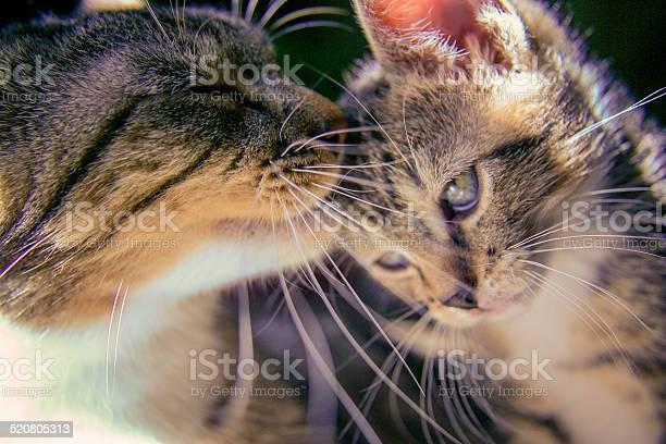 Kitten with mother picture id520805313?b=1&k=6&m=520805313&s=612x612&h=sbdoslwfbthhrdcdi xgdust05vqagqzlhh90r0sqck=