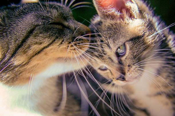 Kitten with mother picture id520805313?b=1&k=6&m=520805313&s=612x612&w=0&h=bl7yd5ggureoa0 m7yd41uclrd0domxutl5nr3jlc58=