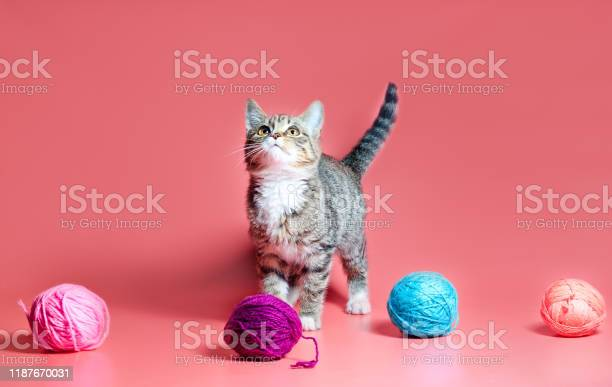 Kitten with multicolored balls of woolen threads on a pink background picture id1187670031?b=1&k=6&m=1187670031&s=612x612&h=wgs6wwussyidjiofr7hmp2b7xa1fihif1kft7kffqvo=