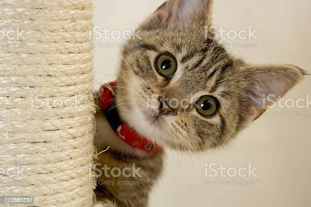 Kitten with red collar peeking out from a scratching post picture id172881237?b=1&k=6&m=172881237&s=612x612&h=qar09ik4fgkea3y 1cmqdhbtid2n qqy98 tyk wmi4=