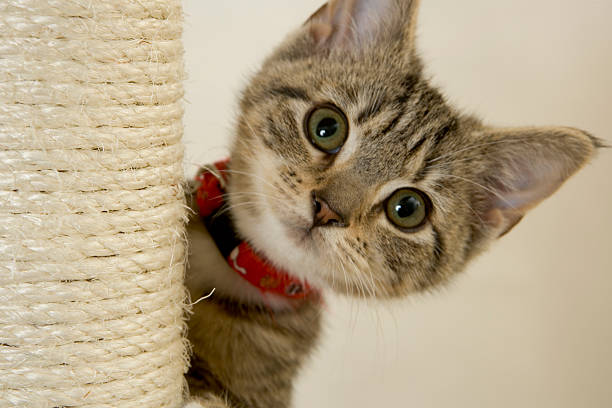 Kitten with red collar peeking out from a scratching post picture id172881237?b=1&k=6&m=172881237&s=612x612&w=0&h=x72de1e95nwaie0cowkyrgkqfcn8 z5oibeoigadu a=