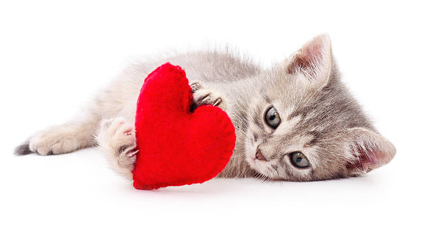 Kitten with red heart. Kitten with red Valentine`s  heart on white background. kitten cute valentines day domestic cat stock pictures, royalty-free photos & images