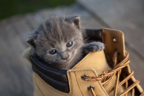 Kitten with smoky color and blue eyes in the boot in the nature on picture id953918594?b=1&k=6&m=953918594&s=612x612&w=0&h=eaenbn7ynqwkcmvlvblcjnlcsiliz5tdascmprdirh8=
