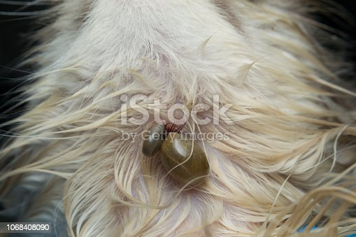 istock Kitten with ticks 1068408090