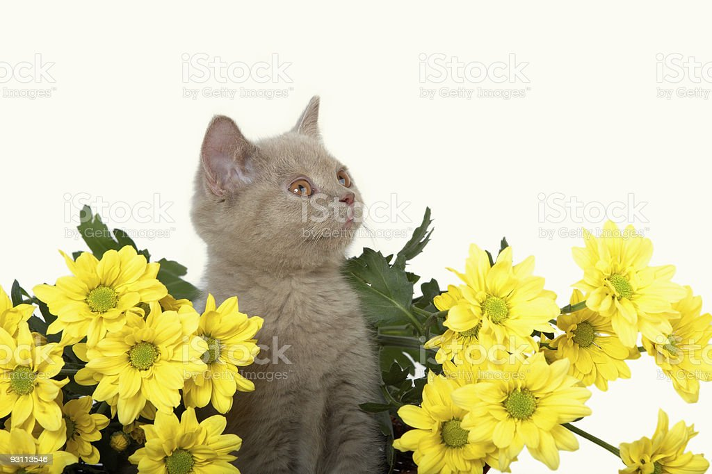 Kitten with yellow flowers royalty-free stock photo