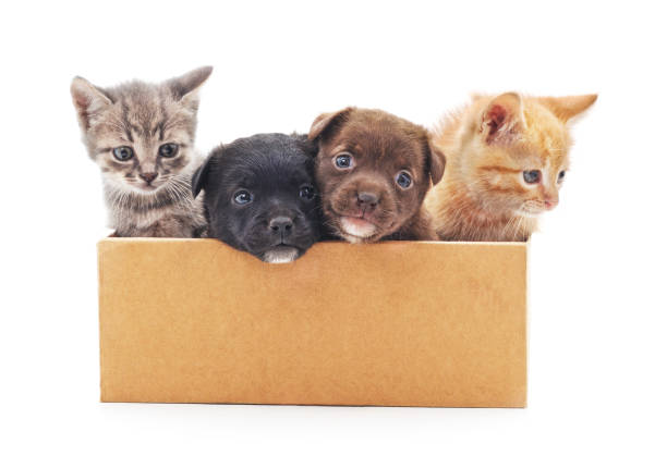 Kittens and a puppies in a box picture id655465208?b=1&k=6&m=655465208&s=612x612&w=0&h=hjuotmo6qgsdp5mcjmhck8olocvdksfbaeq6kta2zvq=