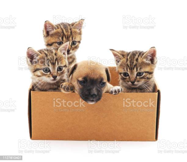 Kittens and a puppy in a box picture id1127810401?b=1&k=6&m=1127810401&s=612x612&h=tsfa9hcpi6aqjkrwchgplyfcvevmcerxds8lsf8eilw=