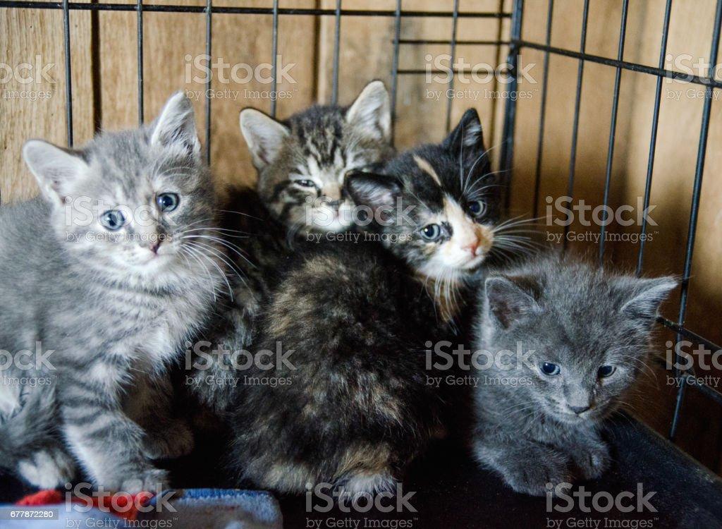 Kittens at animal shelter A litter of kittens waiting for adoption at an animal shelter. Animal Stock Photo