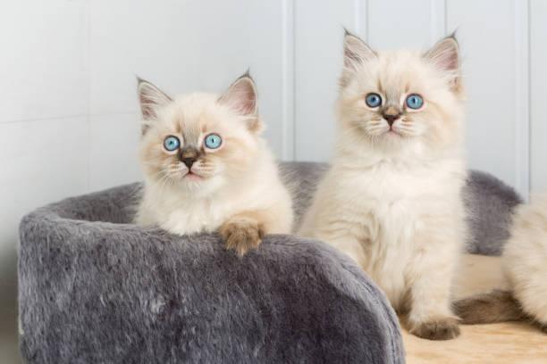 Kittens at home picture id1032896178?b=1&k=6&m=1032896178&s=612x612&w=0&h=r0kmcei 1kbyvq29dvsygk6axtjnfvmkxnm8fghz2kw=