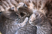 kittens of Scottish Straight breed drinking milk from his mother