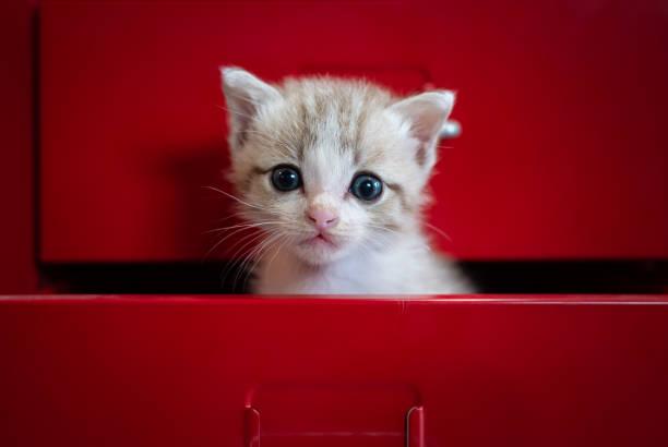 kätzchen angst versteckt in roten schublade blick in die kamera. - suche katze stock-fotos und bilder