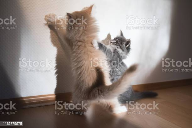 Kittens fighting their shadows picture id1135779575?b=1&k=6&m=1135779575&s=612x612&h=yjkc6niz2vdegr cngs72a9yzld9yp7mqebrymzkhjg=