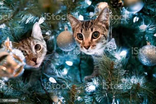Kittens in a christmas tree picture id1081446502?b=1&k=6&m=1081446502&s=612x612&h=dr9zpin ae4uqdgnaucpe 2ie2ci6y9wi1kjlboyu c=