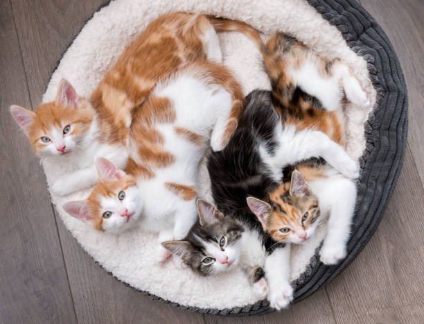 Kittens in a fluffy white bed picture id938787194?b=1&k=6&m=938787194&s=612x612&w=0&h=t9 lfx6dajuxipr5l qgueux6eiglb1uwvwwq0gs6py=