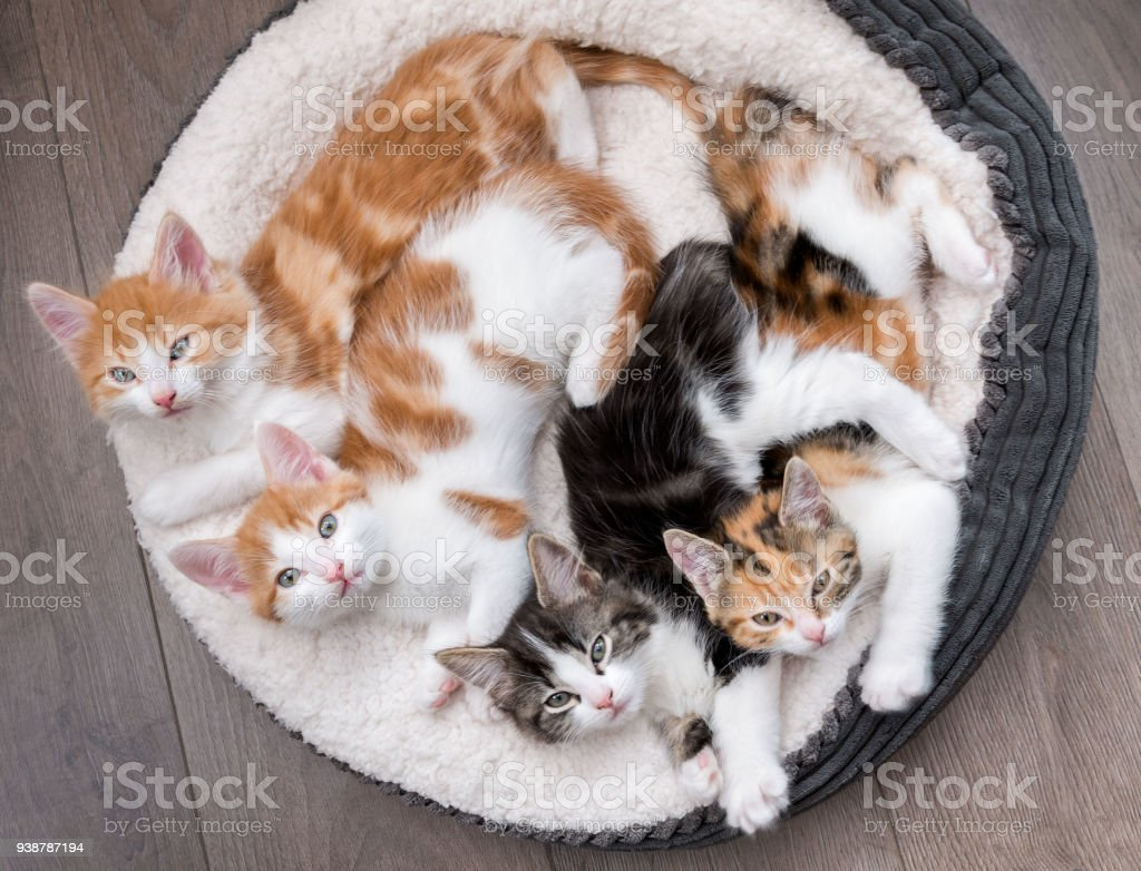 Kittens in a fluffy white bed stock photo