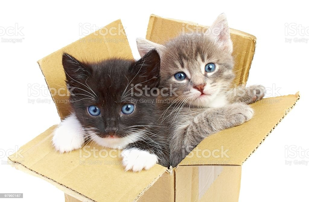 kittens in box royalty-free stock photo