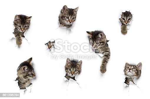Kittens in holes of paper, little grey tabby cats peeking out of torn white background, eight funny playing pets