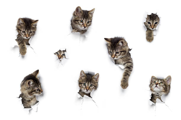 Kittens in holes Kittens in holes of paper, little grey tabby cats peeking out of torn white background, eight funny playing pets undomesticated cat stock pictures, royalty-free photos & images