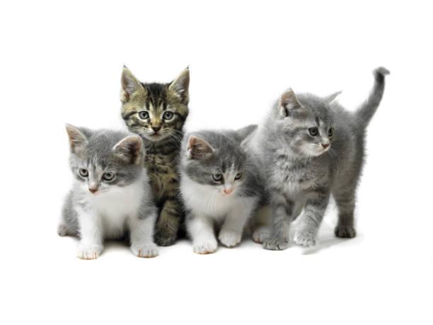 Kittens isolated on white picture id108221652?b=1&k=6&m=108221652&s=612x612&w=0&h=sqspnobt0pzwnoophkzoptsgpilrlmq7j culq80aos=