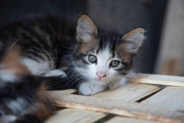 kätzchen-look - grau getigerte katzen stock-fotos und bilder