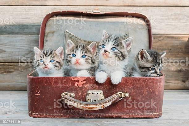 Kittens look up in suitcase picture id502744119?b=1&k=6&m=502744119&s=612x612&h=9tie42qwlrd oxbt lhpj bi48w0djip9tu9yitmgqc=