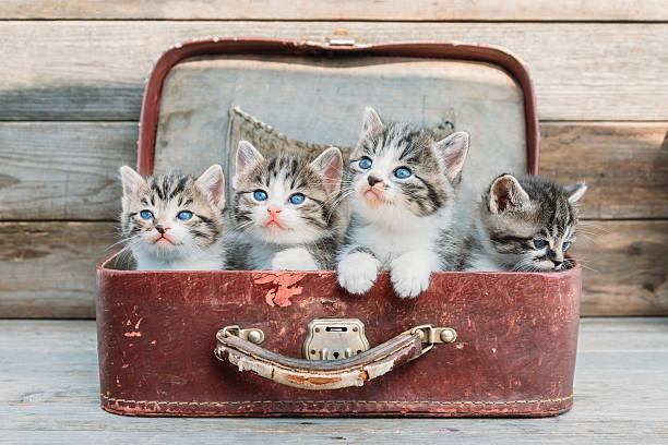 Kittens look up in suitcase picture id502744119?b=1&k=6&m=502744119&s=612x612&w=0&h= 9epchew6k4eenqwqbnurtu5ahl9gdpfjuougojrhoi=