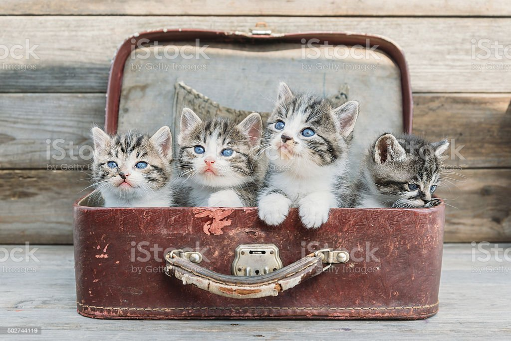 Kittens look up in suitcase stock photo