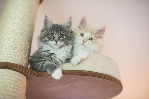 jungtiere auf katzenbaum - grau getigerte katzen stock-fotos und bilder