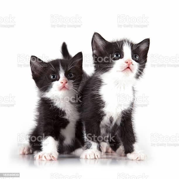 Kittens on white background picture id183589839?b=1&k=6&m=183589839&s=612x612&h=migzh3j  tshk2qvtr5yphed2 36p2icnglmwtv7qdg=