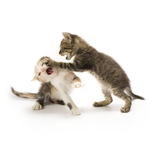 Kittens picture id147085591?b=1&k=6&m=147085591&s=612x612&w=0&h=wr6e0erhyf qprj3off9mir7xggrmi6nphxhxvz0fia=