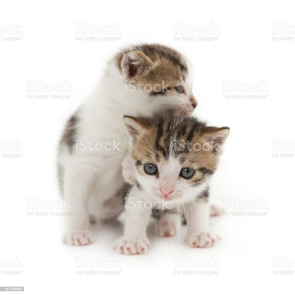Kittens foto de stock libre de derechos