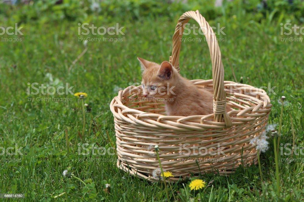 Kittens royalty free stockfoto