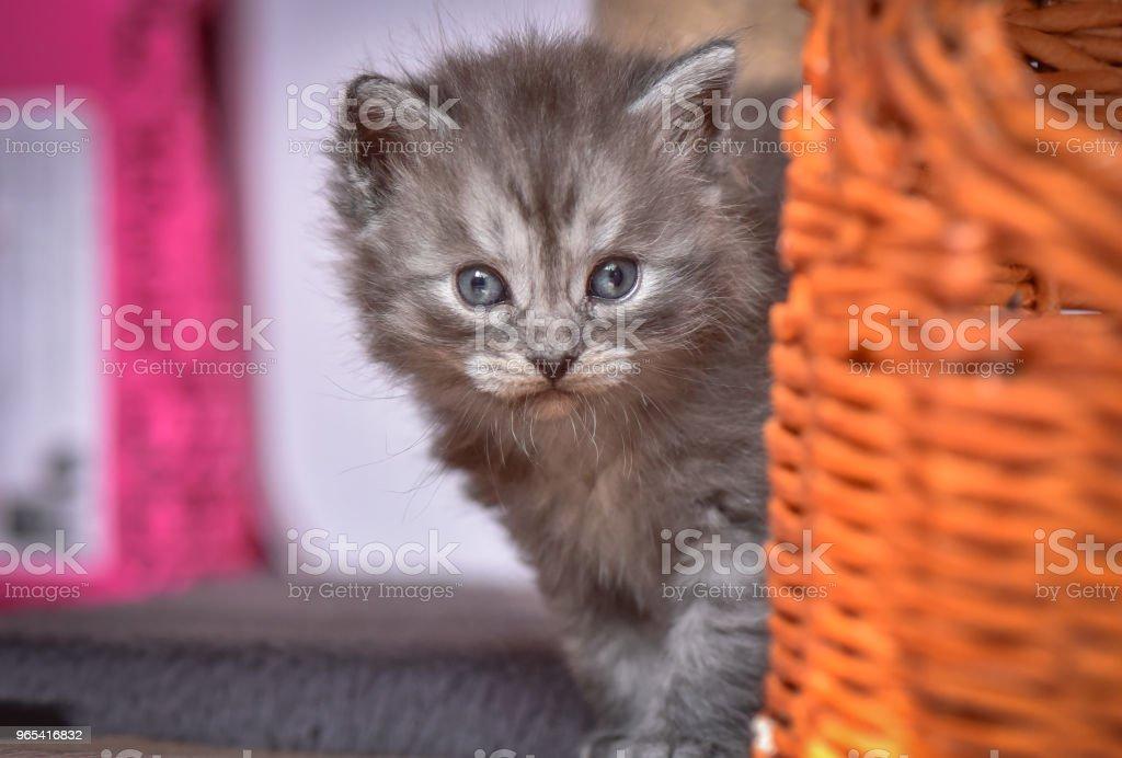 Kittens - Zbiór zdjęć royalty-free (Cień)