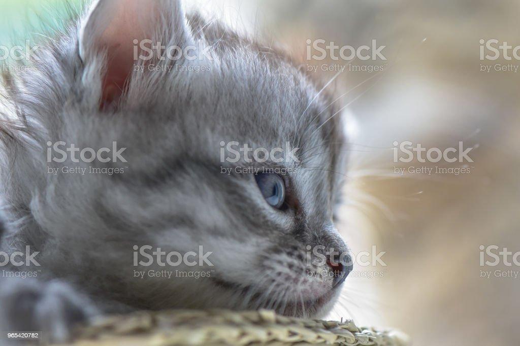 小貓 - 免版稅傳教士藍貓圖庫照片