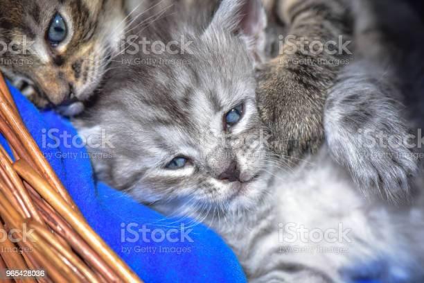 Kittens 가축에 대한 스톡 사진 및 기타 이미지