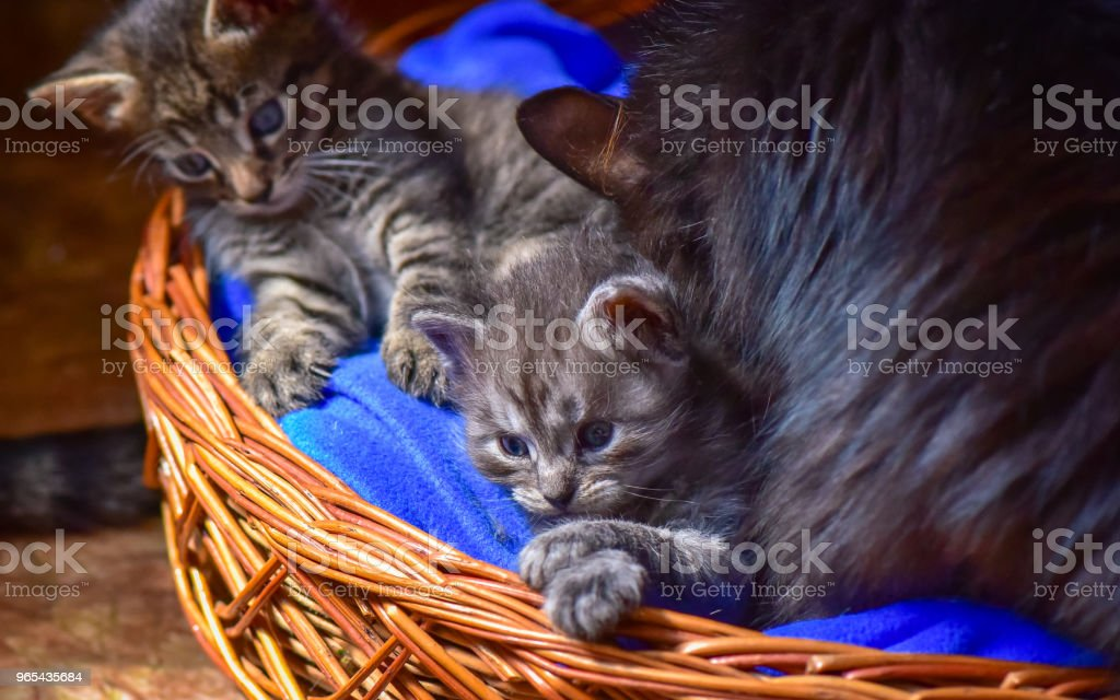 Chatons - Photo de Animaux de compagnie libre de droits