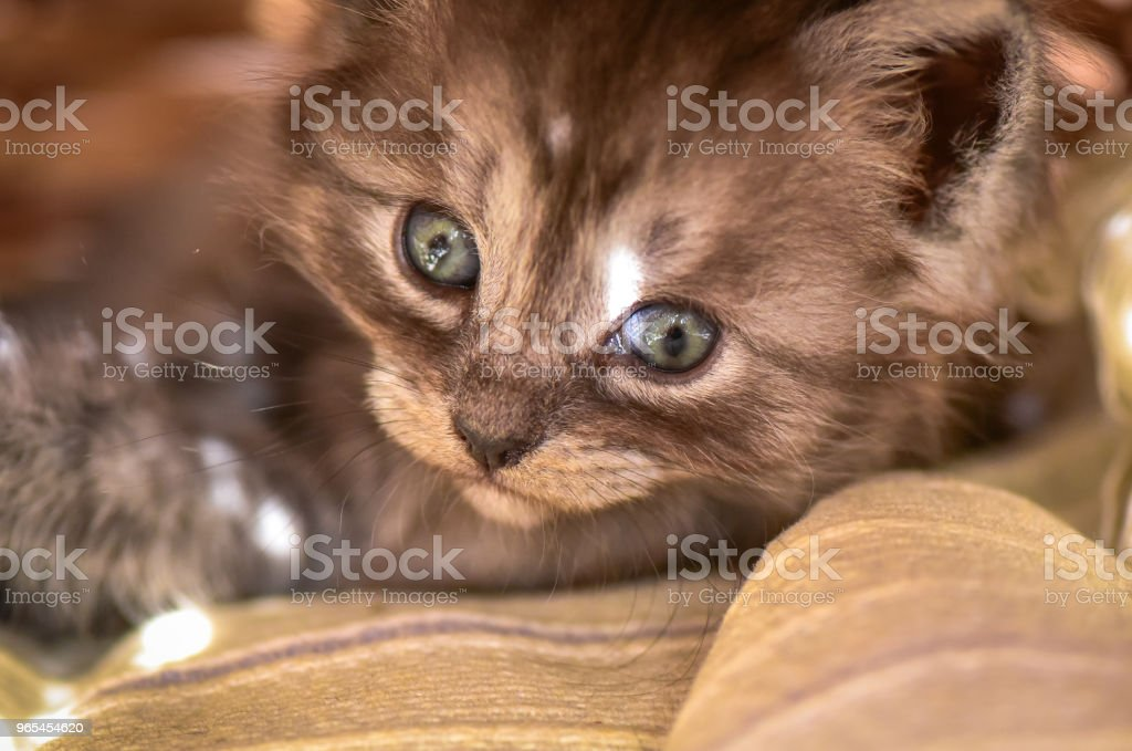 Kittens royalty-free stock photo