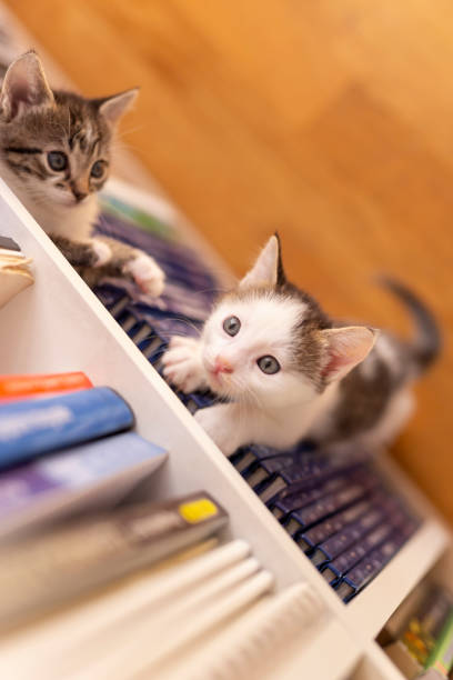 Kittens playing hide and seek on a book shelf picture id1215117632?b=1&k=6&m=1215117632&s=612x612&w=0&h=zp oasn6cfcfb42dgd3ayil8lpljomsrsbbnk spj8e=