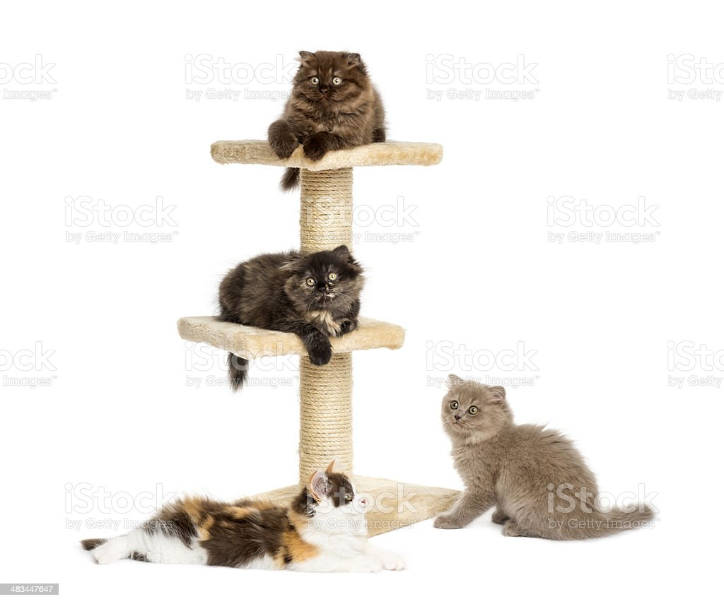 Kittens playing on a cat tree stock photo