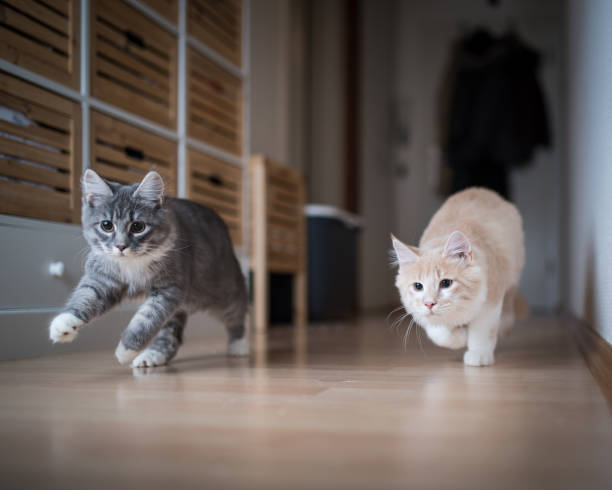 katt ungar spelar - katt inomhus bildbanksfoton och bilder
