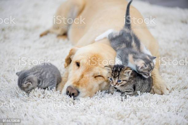 Kittens playing with dog picture id914470838?b=1&k=6&m=914470838&s=612x612&h=bvg4m3x5qkr4bvs3xglnwzb9dznwkwovkerxr317luy=
