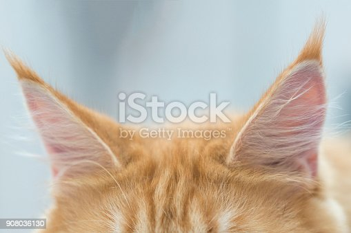 istock Kitten's red ears. Close-up 908036130