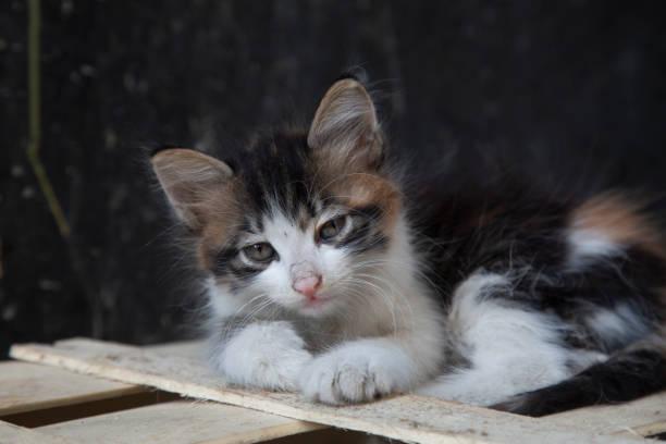 kitten es relaxing - grau getigerte katzen stock-fotos und bilder