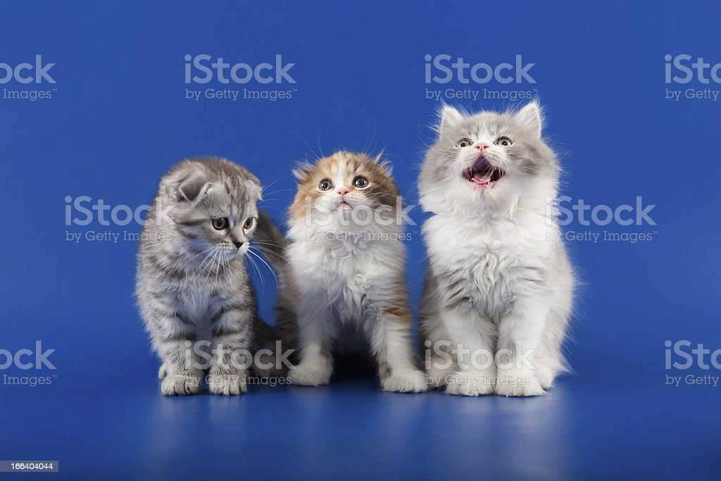 Kittens scottish fold breed royalty-free stock photo