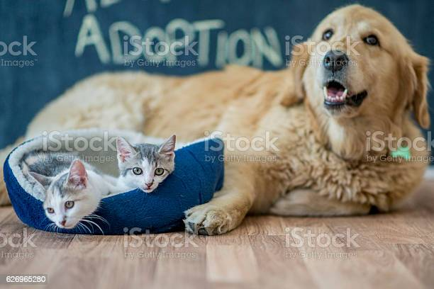 Kittens sitting by a golden retriever picture id626965280?b=1&k=6&m=626965280&s=612x612&h= 7hbiy8e6kymfhynzs8qll0r88sawfe6tmzsewp7osy=