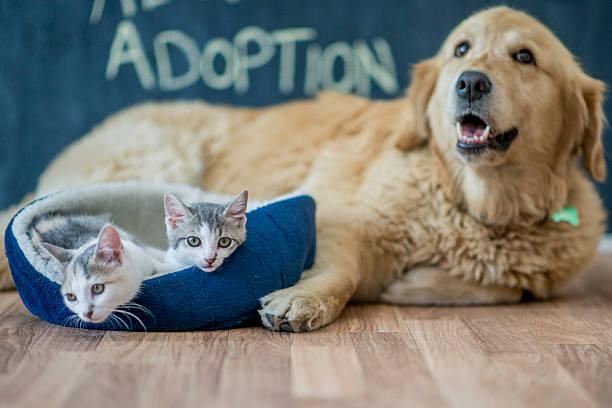 Kittens Sitting by a Golden Retriever stock photo