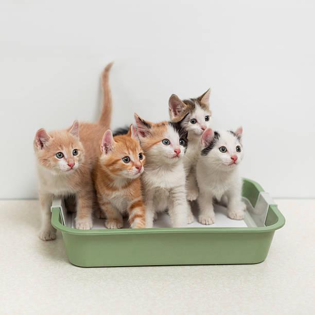 Kittens sitting in cat toilet picture id505016640?b=1&k=6&m=505016640&s=612x612&w=0&h=xvn669mbra2cmqw7hmvmtput6ykebvxfqe8zryuk4f8=