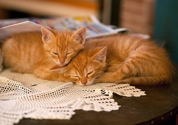 Kittens sleeping on the table picture id182871652?b=1&k=6&m=182871652&s=612x612&w=0&h=mgywoa4nx4dalleqeyh8lkafbcggdzhskz7kxlrau4g=